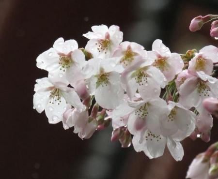 31日雨と桜清水 003