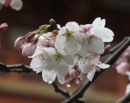 31日雨と桜清水 004