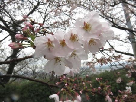 31日雨と桜清水 042