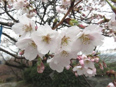31日雨と桜清水 039