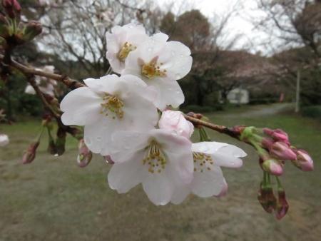31日雨と桜清水 065