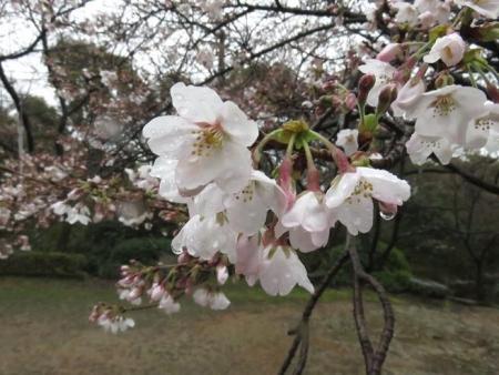 31日雨と桜清水 037