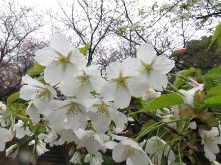 31日雨と桜清水 058