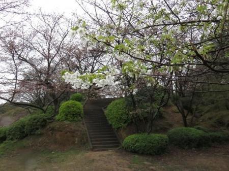 31日雨と桜清水 054