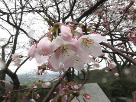 31日雨と桜清水 026