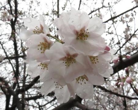 31日雨と桜清水 028