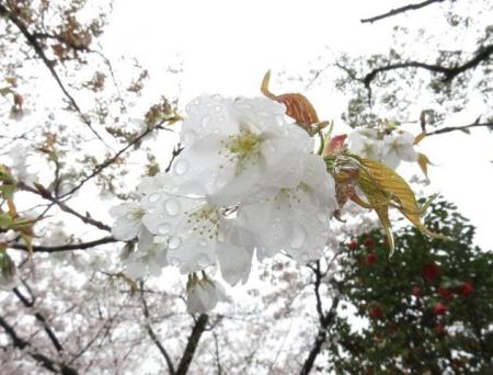 アトリ8日大川公園 006