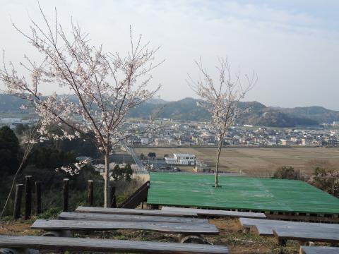 今年の桜3