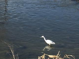 矢田川2017/2/21 白い鳥