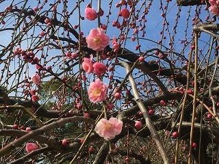 名古屋農業センター 梅 ピンク