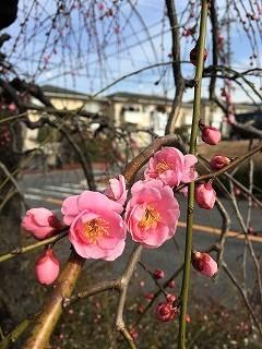 名古屋農業センター前の通り 梅 ピンク