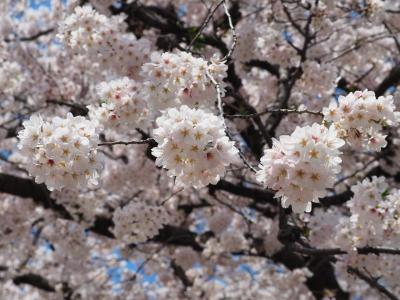 N_studiomimosa桜手毬