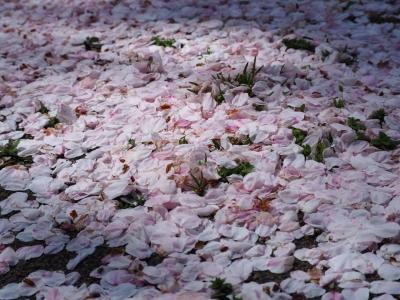 N_studiomimosa桜吹雪き
