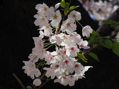 N_studiomimosa桜木から