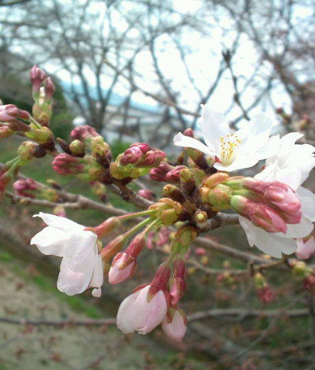 2017,3,30の桜2