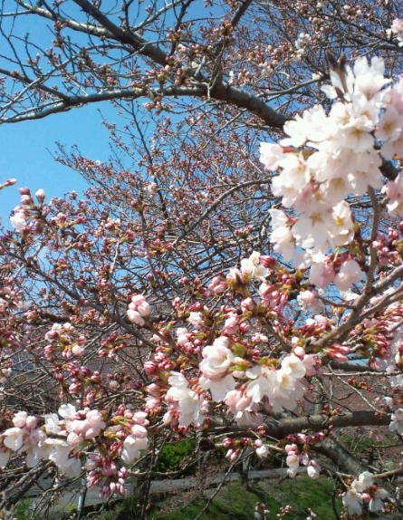 2017,4,2の桜4