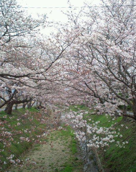 2017,4,5の桜4