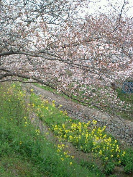 2017,4,5の桜1