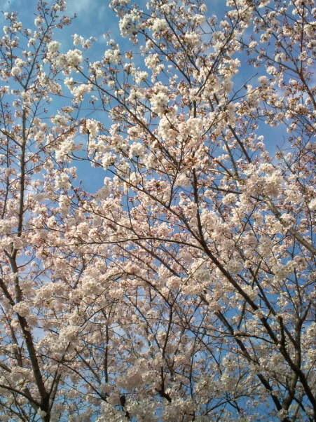 2017,4,6の桜1