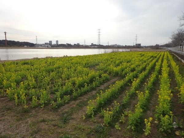 20170301大堀川 (6)