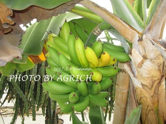 bananaoga