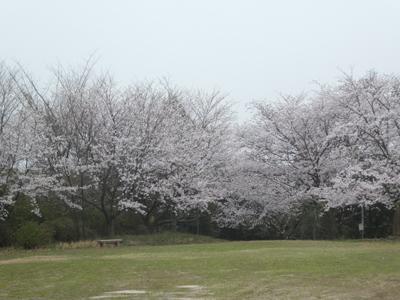 花見2017 4