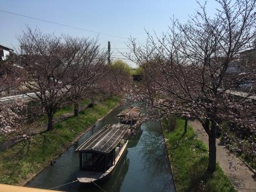 弁天橋からの桜 (2)