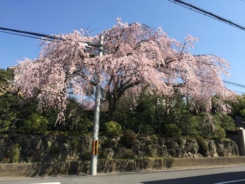 宮本さんちの桜 (2)