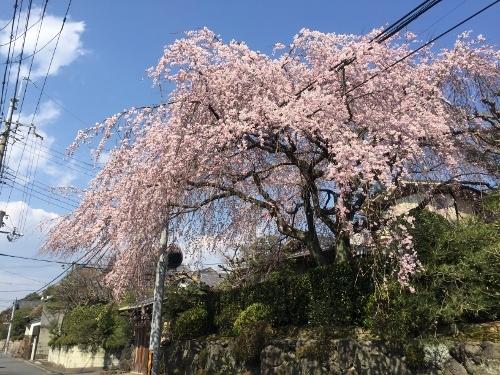 宮本さんちの桜 (3)