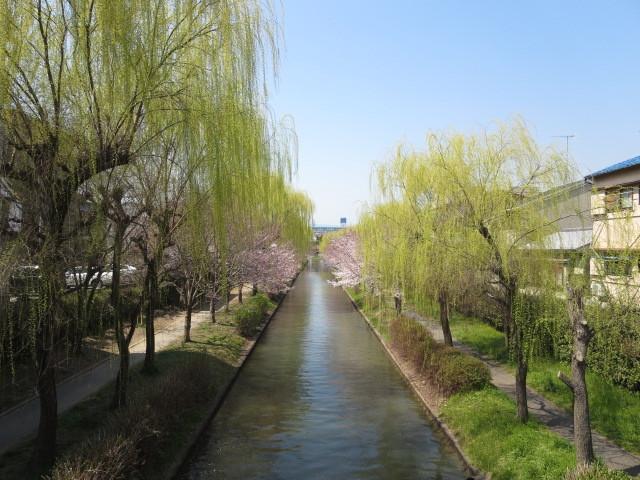 京橋からの桜 (2)