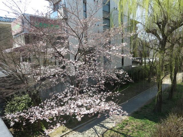 京橋からの桜 (4)