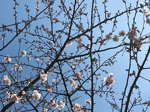 170217 桜