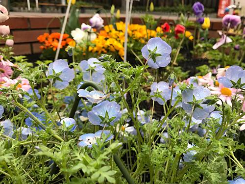 170409 花壇の花1