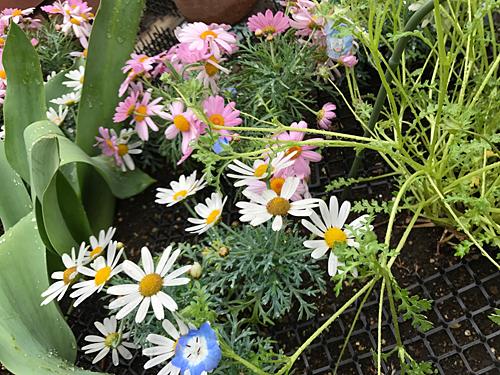 170409 花壇の花2