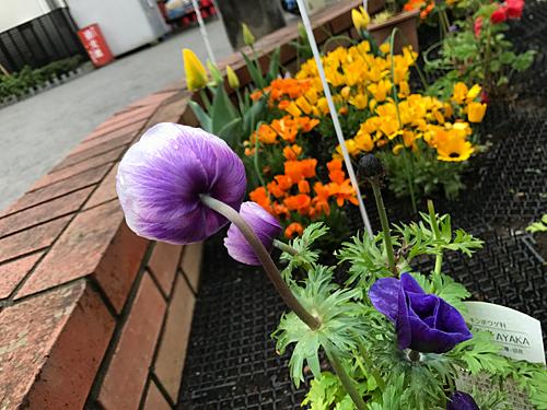 170409 花壇の花3