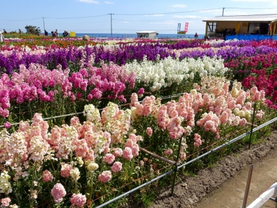 白間津のお花畑