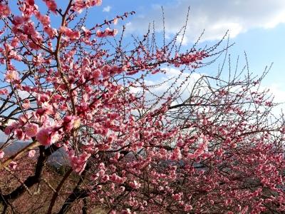 筑波山梅林の紅梅