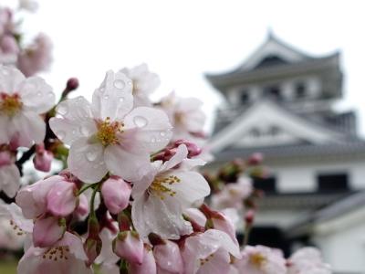 館山市 城山公園の桜