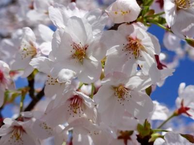 鋸南町 佐久間ダム公園の桜