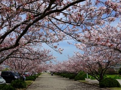 安房神社の桜