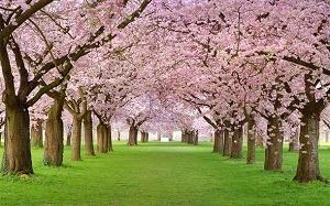 cherry-blossoms-in-bloom-dd.jpg