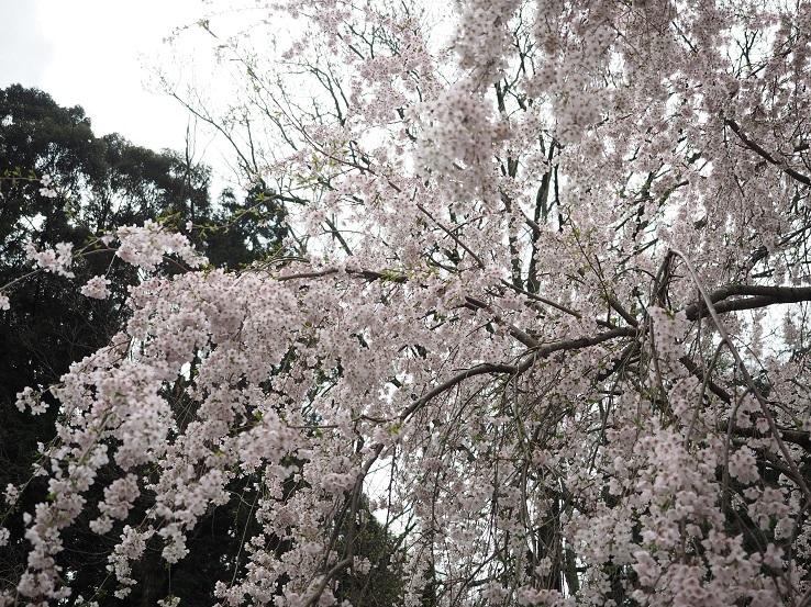 奥山田しだれ桜③