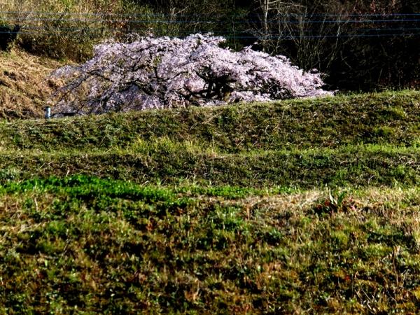 しだれ桜遠景