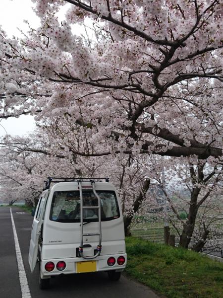 なんちゃって号と桜03