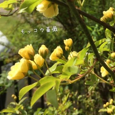 モッコウ薔薇が咲いてきたよ(=^▽^)σ