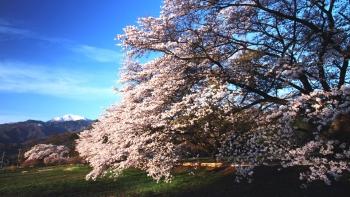 IMG_5023日の出桜s