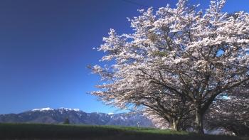 IMG_5054蕪桜s2