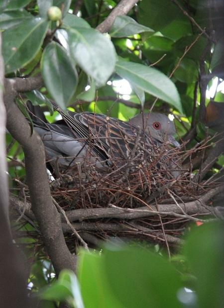 20170228巣ごもり鳩