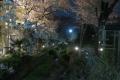 呑川夜桜(2)