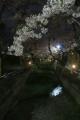 呑川夜桜(3)
